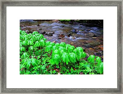 May-apples And Middle Fork Of Williams River Framed Print by Thomas R Fletcher