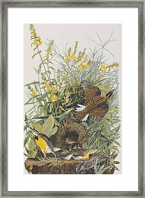 Meadow Lark Framed Print