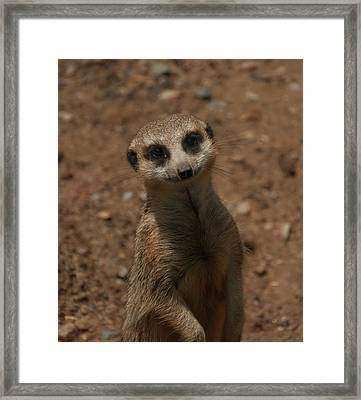 Framed Print featuring the photograph Meerkat by Chris Flees