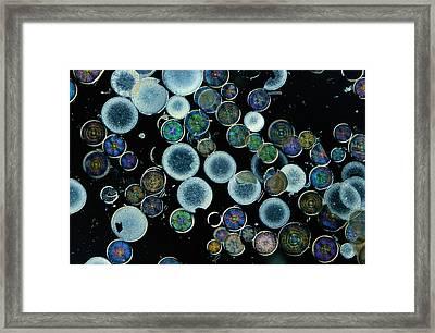 Microscopic View Of Diatoms Framed Print by Darlyne A. Murawski