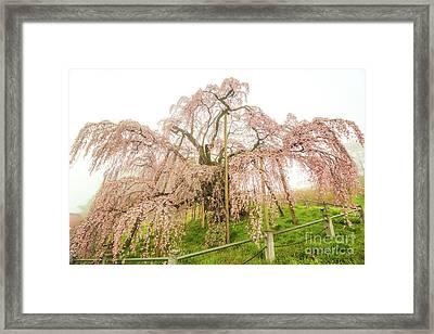 Framed Print featuring the photograph Miharu Takizakura Weeping Cherry02 by Tatsuya Atarashi