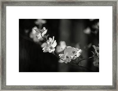 Missouri Dogwood Framed Print
