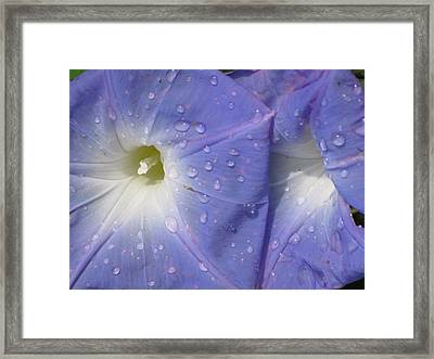 Morning Glory Framed Print by Alfred Ng