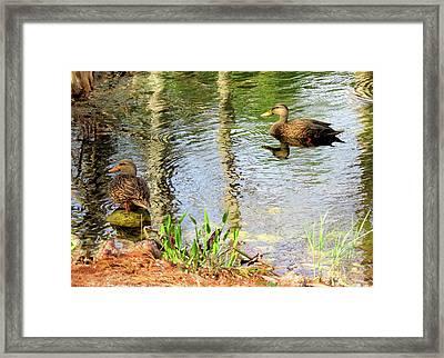 Mottled Duck Pair Framed Print by Rosalie Scanlon