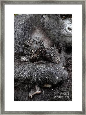 Mountain Gorilla And Baby Framed Print by Tony Camacho