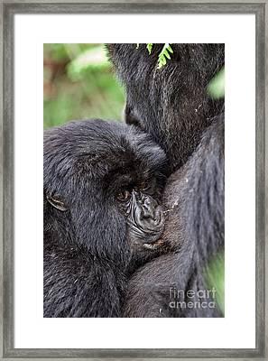 Mountain Gorilla Infant Feeding Framed Print by Tony Camacho