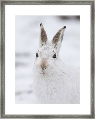Mountain Hare In The Snow - Lepus Timidus  #1 Framed Print