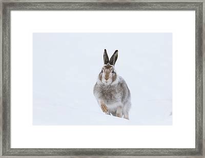 Mountain Hare - Scotland Framed Print