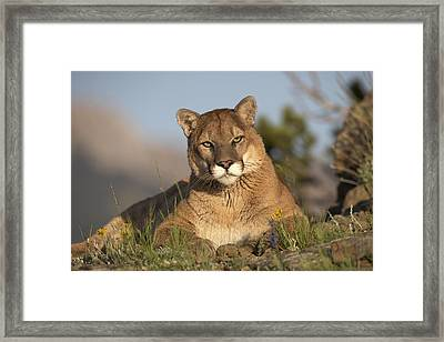 Framed Print featuring the photograph Mountain Lion Portrait North America by Tim Fitzharris