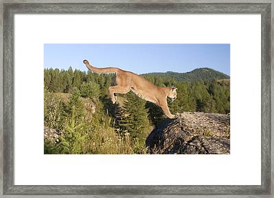 Mountain Lion Puma Concolor Jumping Framed Print