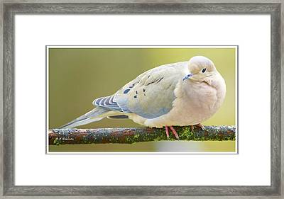 Mourning Dove On Tree Branch Framed Print