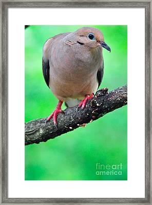 Mourning Dove Framed Print by Thomas R Fletcher