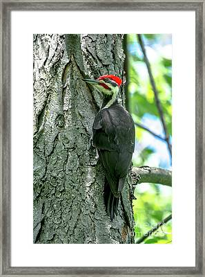 Mr. Pileated Woodpecker Framed Print