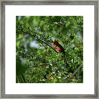 Framed Print featuring the photograph Mr Red by Skip Willits