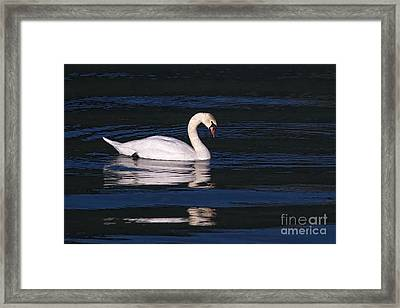Framed Print featuring the photograph Mute Swan  by Sharon Talson