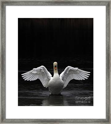 Mute Swan Stretching It's Wings Framed Print by Urban Shooters