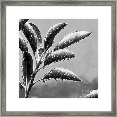 Natures Teardrops Framed Print by Carol F Austin