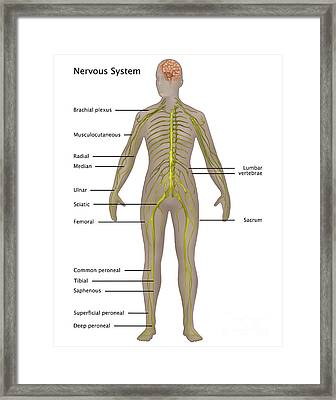 Nervous System In Female Anatomy Framed Print