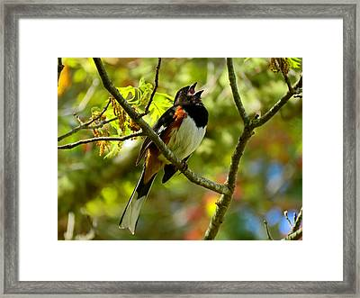Towhee In Song Framed Print