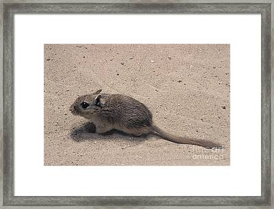 North African Gerbil Framed Print by Gerard Lacz
