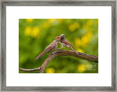 Northern Cardinal Framed Print by Marie Read