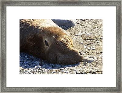 Northern Elephant Seal Framed Print by Soli Deo Gloria Wilderness And Wildlife Photography