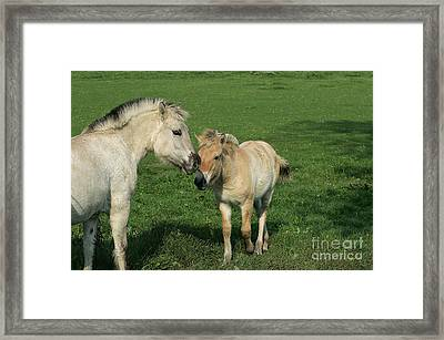 Norwegian Fjord Horse Framed Print by Gerard Lacz