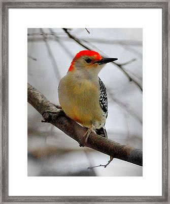 Nuttall's Woodpecker Framed Print by Aron Chervin