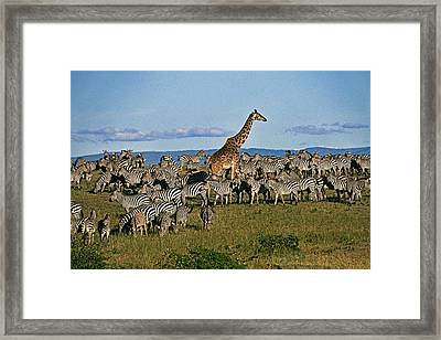 Odd Man Out Framed Print