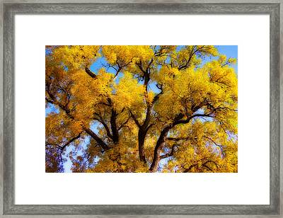 Old Giant  Autumn Cottonwood Orton Framed Print by James BO  Insogna