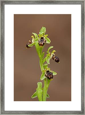 Ophrys Carmeli Framed Print by Yuri Peress