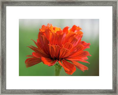 Red Zinnia  Framed Print by Jim Hughes