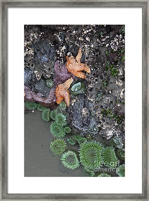 Orange And Purple Ochre Sea Stars Framed Print by Jason O Watson
