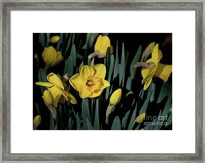 Camelot Daffodils Framed Print