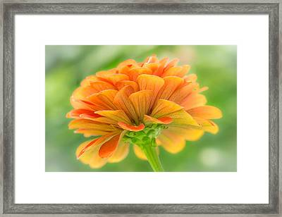 Orange Zinnia  Framed Print by Jim Hughes