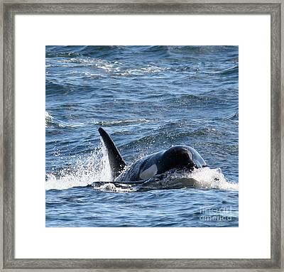 Orca Whales In The San Juan Islands Framed Print by Sandy Buckley