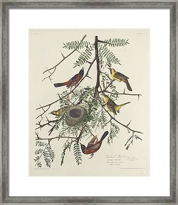 Orchard Oriole Framed Print by Anton Oreshkin