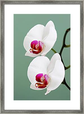 Orchid-2-st Lucia Framed Print