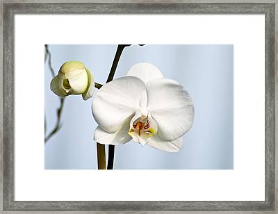 Orchid Framed Print by John Ater