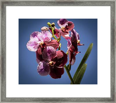 Orchid Framed Print by Zina Stromberg
