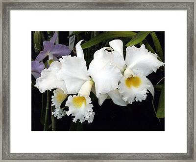 Orchids In White Framed Print by Mindy Newman