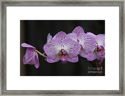 Orchids On Black Framed Print