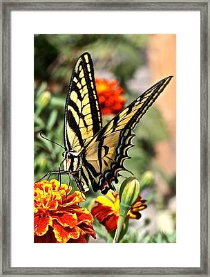 Oregon Swallowtail Butterfly  Framed Print by Brent Sisson