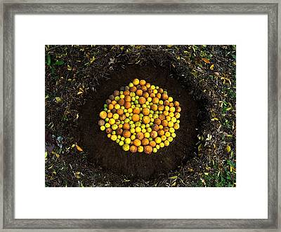 Organize Oranges Framed Print by Lizzie  Johnson
