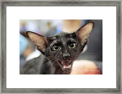 Oriental Shorthair Cat Framed Print by RIA Novosti