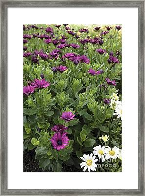 Osteospermum Flowers Framed Print by Erin Paul Donovan