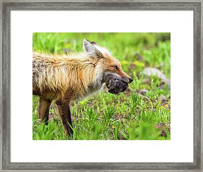Out Foxed  Framed Print by Scott Warner