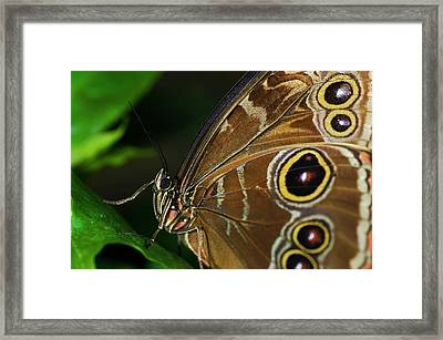 Owl Buttterfly Framed Print