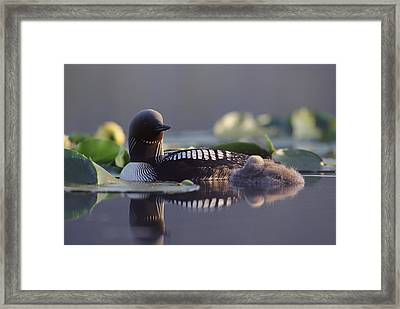 Pacific Loon Gavia Pacifica Parent Framed Print by Michael Quinton