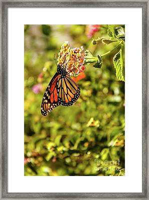 Painted Lady Framed Print
